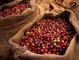 Brazil 2016/2017 coffee crop seen up 13 pct 56.25 mln bags –Comexim