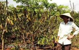 Some areas of Central Highlands, Vietnam's coffee belt, have seen extreme water shortage during the dry season that started in December, according to Vietnam Coffee- Cocoa Association.