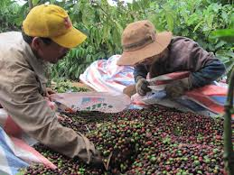 Vietnam 2013/2014 crop coffee yield forecasted to reduce by 15%